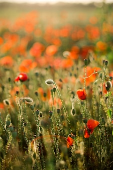 Poppy veld close-up