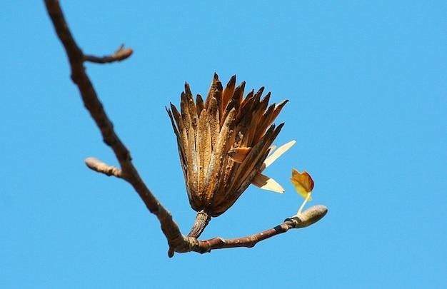Populier laatste zaailingstadium zaad tulp