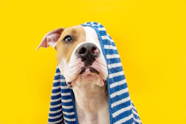 Portret amerikaanse staffordshire-hond klaar om een douche te nemen omwikkeld met een blauwe handdoek. dier op geel gekleurd oppervlak. puppy zomerseizoen.