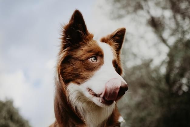 Portret border collie-hond die zijn kips op hemelachtergrond likt