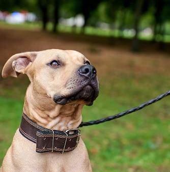 Portret bruine amerikaanse kuilbull terrier