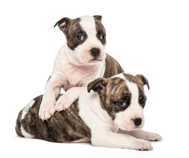 Portret die van het amerikaanse staffordshire puppy van de terriër, tegen witte achtergrond liggen