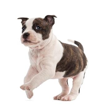 Portret die van het amerikaanse staffordshire puppy van de terriër, tegen witte achtergrond lopen