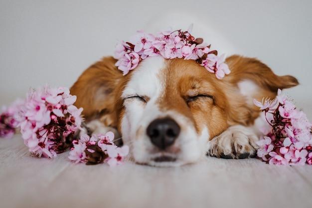 Portret die van leuke jack russell hond thuis het dragen van een mooie kroon van de bloemen van de amandelboom ontspannen. lente concept