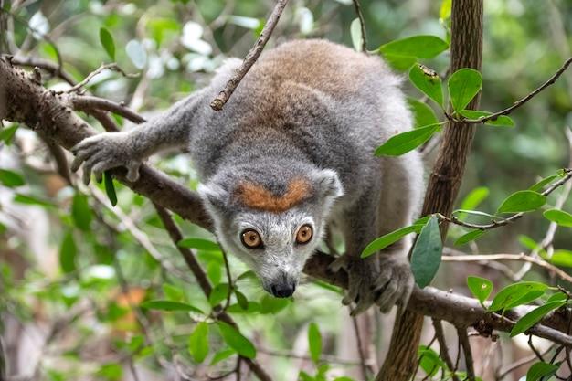 Portret gekroonde maki. de gekroonde maki, of de gekroonde mangoestmaki, is een primaat uit de makifamilie. endemisch in madagaskar. afrika