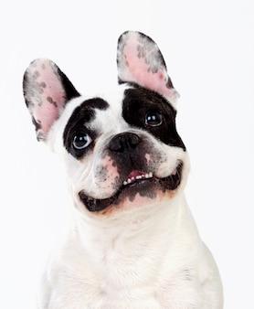 Portret in studio van een schattige bulldog