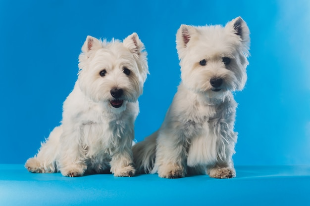 Portret maltese schoothondje close-up portret kleine witte hond.