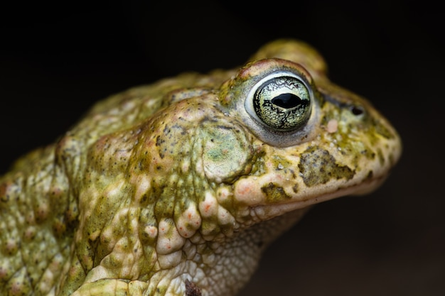 Portret mannelijke rugstreeppad (epidalea calamita)