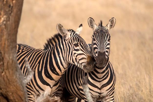 Portret met twee zebra's. tsavo west nationaal park. kenia. afrika Premium Foto