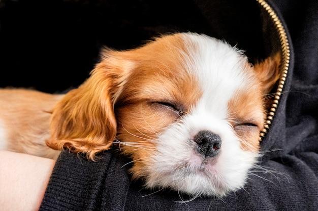 Portret rasechte schattige puppy cavalier king charles spaniel slaapt in armen