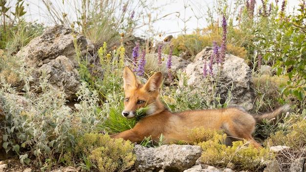 Portret rode vos welp vulpes vulpes in het wild.
