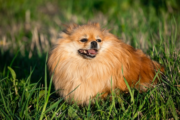 Portret schattige rode pommeren op de achtergrond van groen gras, buitenshuis. zonnige dag, de hond lacht
