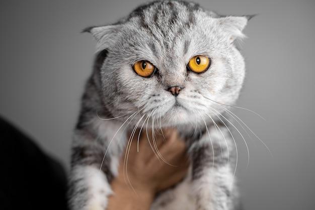 Portret scottish fold kat is zo schattig. de schotse vouwenkat kijkt.