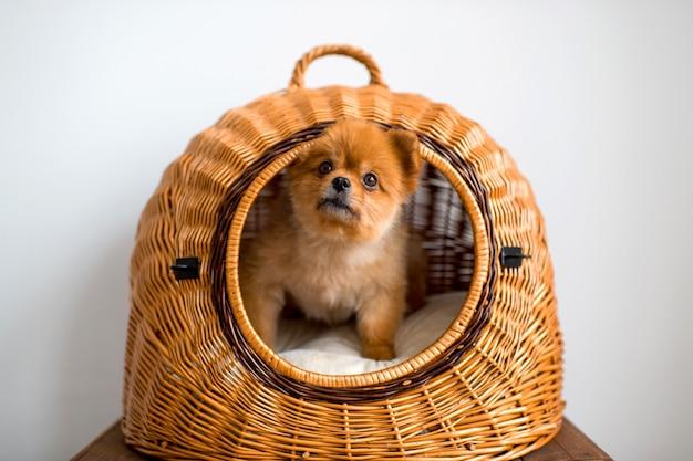 Portret van aanbiddelijk pomeranian-puppy met droevige vriendelijke ogen die uit rieten hondhuis kijken