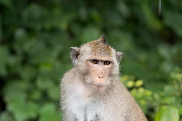 Portret van aap in thailand. makaakaap met bruine bontzitting in het bos. aap op vage groene boomachtergrond.