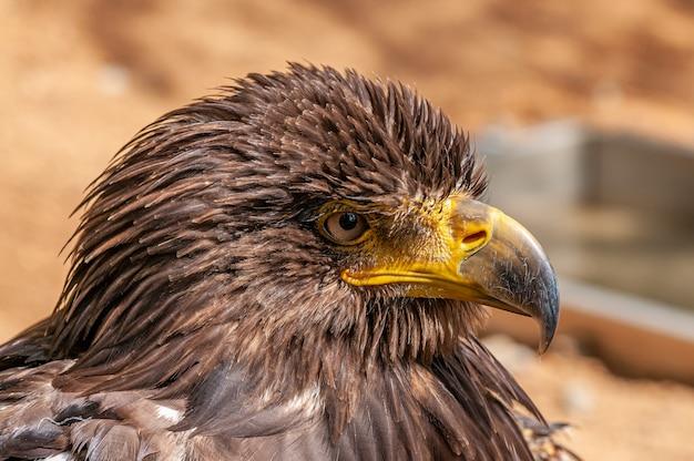Portret van adelaar met gegolfde veren