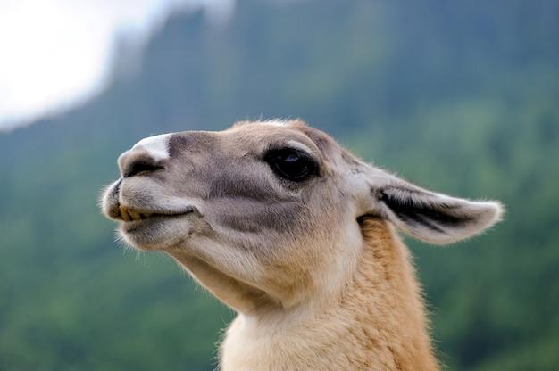 Portret van alpaca op een groene natuurlijke achtergrond