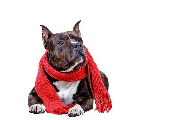 Portret van amerikaanse staffordshireterriër in rode warme sjaal die op wit wordt geïsoleerd