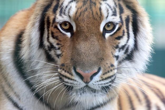 Portret van amoer-tijger