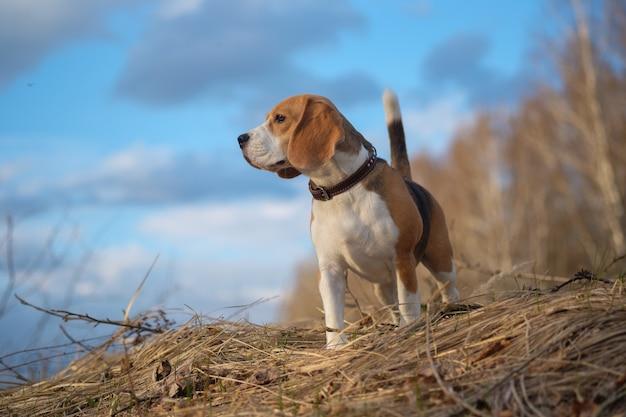 Portret van beagle hond tijdens een wandeling in het bos in de lenteavond