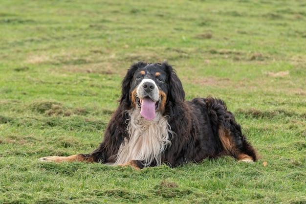 Portret van berner sennenhond die op gras ligt