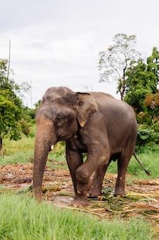 Portret van beuatiful thaise aziatische olifant staat op groen veld olifant met bijgesneden gesneden slagtanden