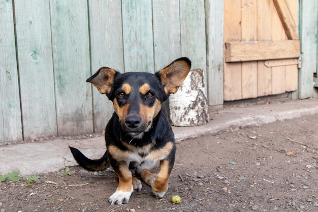 Portret van binnenlandse bruine hondtekkel met korte benen in de tuin in het dorp.