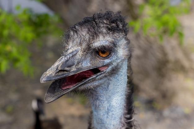Portret van blauwe emoe met open mond.