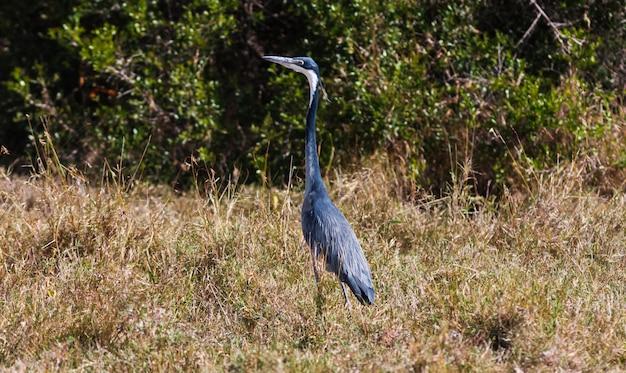 Portret van blauwe reiger in savanne. sweetwater, kenia