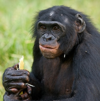 Portret van bonobo's. detailopname. democratische republiek van congo. nationaal park lola ya bonobo.