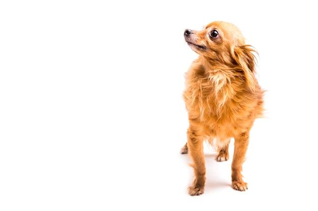 Portret van bruine hond die weg op witte achtergrond kijkt