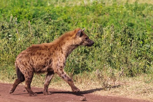 Portret van bruine hyena op groene achtergrond. ngorongoro, tanzania