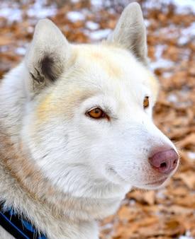 Portret van bruine jonge siberische husky wegkijken