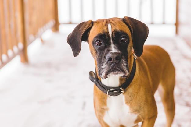 Portret van bruine pedigreed hondzitting in het houten huis. bokser