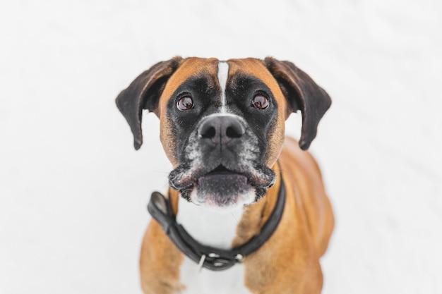 Portret van bruine pedigreedhond op de sneeuw. bokser.