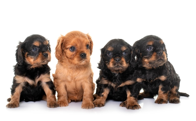 Portret van cavalier king charles puppy's