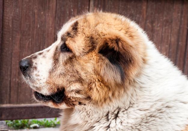 Portret van centraal-aziatische herdershond
