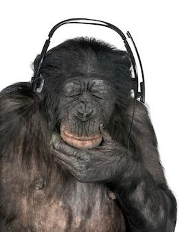 Portret van chimpansee op geïsoleerd wit. (gemengd ras tussen chimpansee en bonobo)