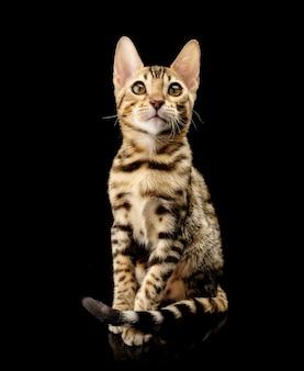 Portret van de jonge rasechte kat van bengalen op zwarte.