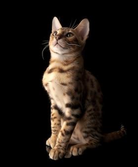 Portret van de jonge rasechte kat van bengalen