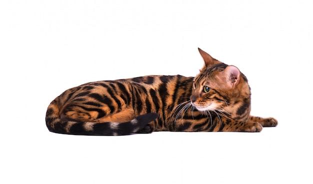 Portret van de kat van bengalen dat op witte achtergrond wordt geïsoleerd