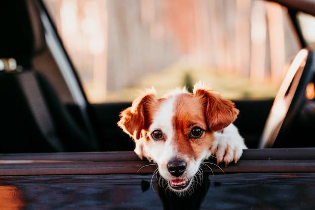 Portret van de leuke hond van hefboomrussell in een auto bij zonsondergang. reizen concept