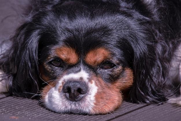 Portret van de mooie cavalier king charles-spaniël die op het dek ligt