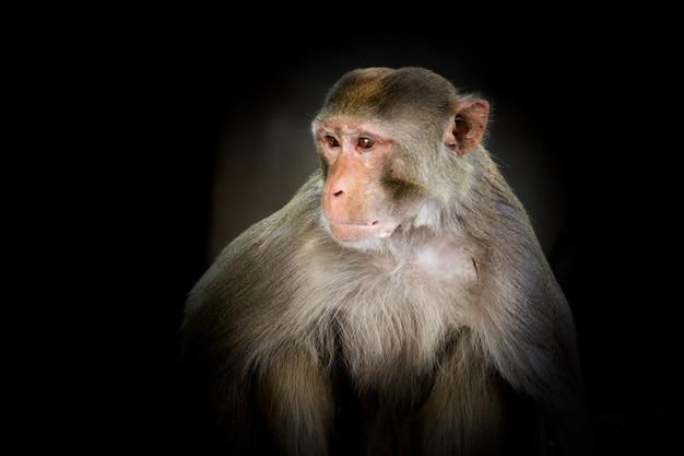 Portret van de rhesus makaak monkey of primaten of apen of macaca of mullata