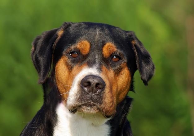 Portret van de zwitserse sennenhond