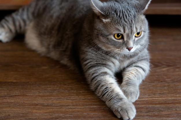 Portret van dikke tabby britse kat met grote ogen die naar de zijkant kijken
