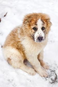 Portret van drie maanden puppy van central asian shepherd (alabai)