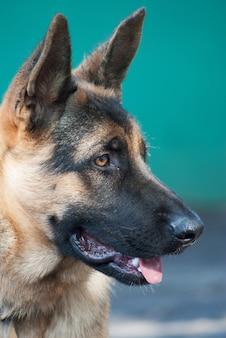 Portret van duitse herderhond