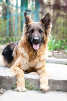 Portret van duitse herdershond foto van hondenkop