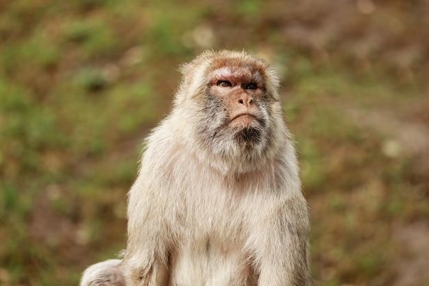 Portret van een aap in het park. wilde aapfamilie bij heilig apenbos.